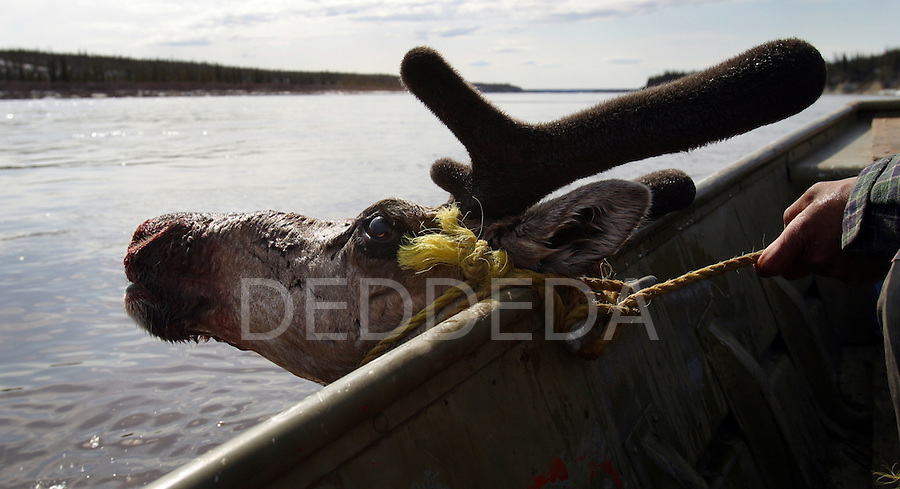 A dead caribou is tied to the side of a hunter's boat near Old Crow, Yukon Territory, Canada.