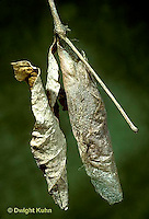 LE41-002e  Moth - coccoon of Promethea Moth - Callosamia promethea