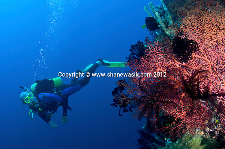 As the wall plummets to the depth, the surface are colonised by a kaleidoscope of colour. Deacons Reef, Milne Bay, PNG.