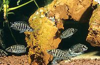 Perlhuhn-Nanderbarsch, Perlhuhnbarsch, Altolamprologus calvus, Neolamprologus calvus, Lamprologus calvus, Congo black pearl, Pearly Lamprologus, Cichlidae, Tanganjikasee-Barsch, Tanganjika Buntbarsch, Tanganjika-Buntbarsch, Buntbarsche