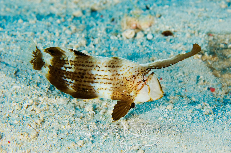 Juvenile Blackbarred Razorfish, Iniistius tetrazona, the long front fin gets shorter as the fish matures, this fish has the ability to bury itself in the sand when sleeping or frightened, Yap, Micronesia, Pacific Ocean