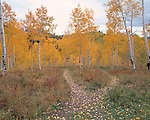 Divergent path amidst fall-colored aspen forest, Uncompahgre Nat'l Forest, CO