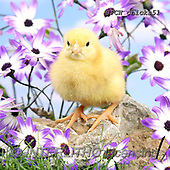 Xavier, EASTER, OSTERN, PASCUA, photos+++++,SPCHCHICKS51,#e#, EVERYDAY ,chicken
