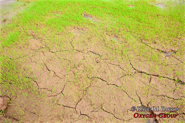 Rice Starting To Grow