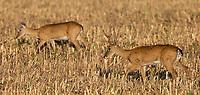 We saw numerous pampas deer in Emas National Park.