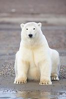 Polar bear sits along the shore of Alaska's arctic in the Beaufort Sea.
