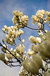 Kubota Garden, Seattle, WA. White magnolia blossoms on tree limb.