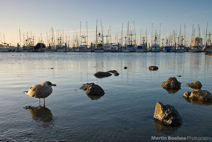 A lone seagull (Larus sp.) at Pillar Point Harbor, Half Moon Bay, California