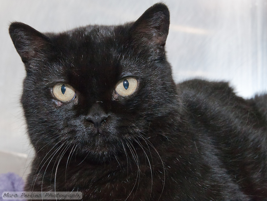 Sofo, a black male bombay cat.  6921.