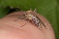 Stechmücke, Weibchen beim Blutsaugen auf menschlicher Haut, saugend, stechend, Ochlerotatus spec., (Aedes spec.), mosquito, Stechmücken, Gelsen, Gelse, Culicidae