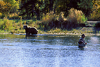 Fly fisherman distances himself from nearby brown bear in Brooks River, Katmai National Park, Alaska