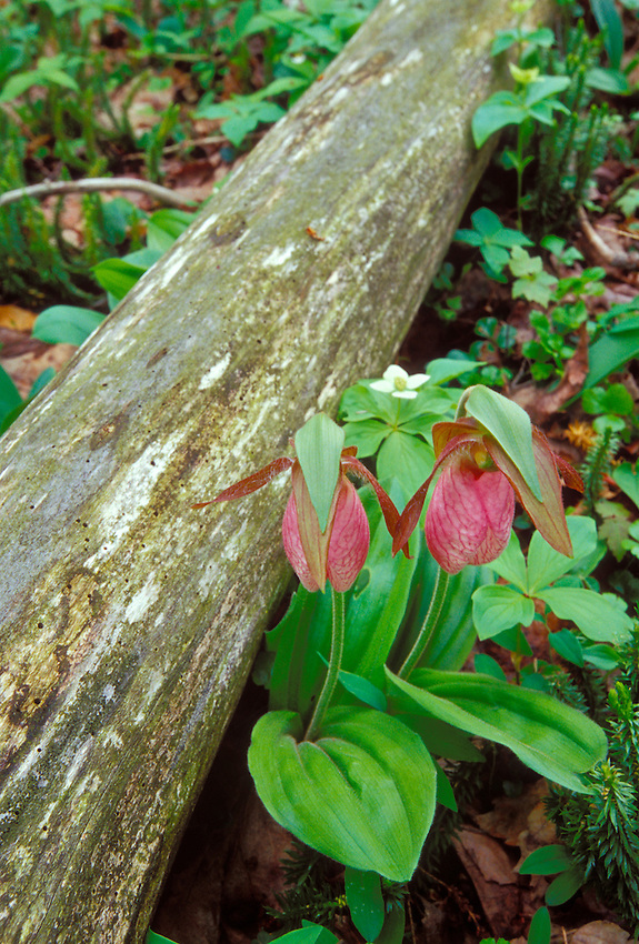 A PAIR OF PINK LADY SLIPPER ORCHIDS (Cypripedium acaule) AND A DECAYING LOG  NEAR MOSQUITO BEACH IN PICTURED ROCKS NATIONAL LAKESHORE NEAR MUNISING.