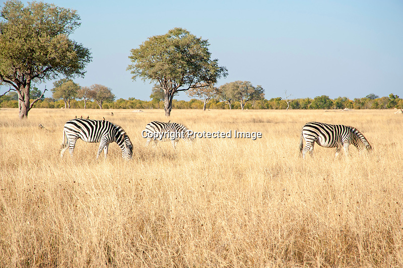Zebras Grazing in the Savanna of Hwange National Park in Zimbabwe