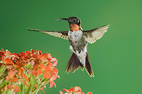 Ruby-throated Hummingbird, Archilochus colubris, male in flight feeding on Kalanchoe Flower, New Braunfels, Texas, USA, September 2005