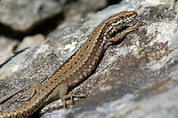 Wall Lizard Podarcis muralis Length 14-17cm. Similar to a Common Lizard but has a much longer tail. Most are brown with a variably complete dark stripe down the back and incomplete dark stripes on the sides defining the rich brown flanks. Variable dark marbling is also seen, with additional white marbling in some males. Wall Lizards are native to warmer parts of mainland Europe, and to Jersey. In Britain they have been introduced to the Isle of Portland and undercliffs on the Isle of Wight and S Hampshire coast.