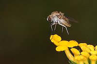 Long-legged Fly on the tip of a Lantana cluster..