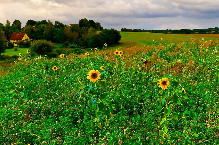 A field of sunflowers, Hotel Gutshaus Stellshagen, Stellshagen, Mecklenburg-West Pomerania, Germany