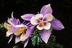 Columbine wildflowers, Colorado Rockies