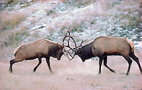 ELK bulls lock antlers in a dawn duel for dominance. The battle ended when the bull on the left speared the other deeply in the chest.  A nearby harem of cows then followed the victor into the autumn woods.  Rocky Mountains..Jasper National Park, Alberta. Canada. (Cervus elaphus).