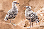 La Jolla, California; a pair of young Western gull chicks standing next to one another on the sandstone cliffs above the ocean, calling to their mother for food