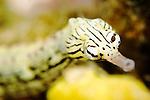 Scribbled Pipefish portrait, Corythoichthys flavofasciatus, Yap, Micronesia, Pacific Ocean