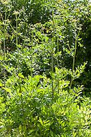 Liebstöckel, Liebstöckl, Maggikraut, Levisticum officinale, Lovage