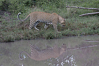 Leopard (Panthera pardus) and his reflection in a water hole, South Africa
