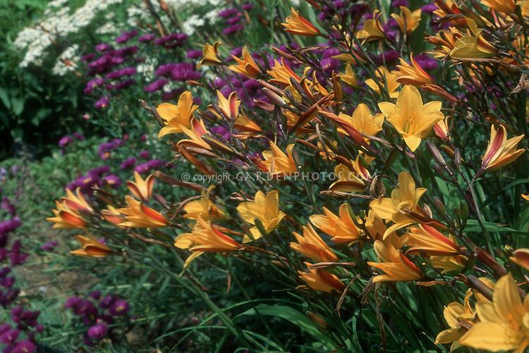 Daylily Hemerocallis 'Golden Chimes'
