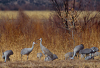 51266271 a flock of sandhill cranes grus canadensis forage in a large field in bosque del apache national wildlife refuge new mexico