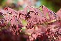 Acer palmatum 'Shojo-shidare', mid April.