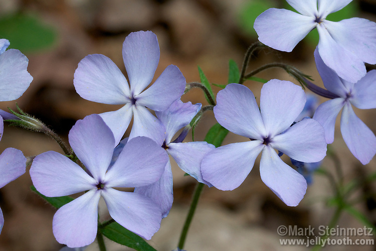 Close-up of Wild Blue Phlox (Phlox divaricata), also referred to as Woodland Phlox or simply Blue Phlox. Spring ephemeral wildflower of woodlands of eastern North America. Franklin County, Ohio, USA.