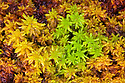 Sphagnum Moss {Sphagnum sp.} growing on boggy moorland. Peak DIstrict National Park, Derbyshire, UK. August.