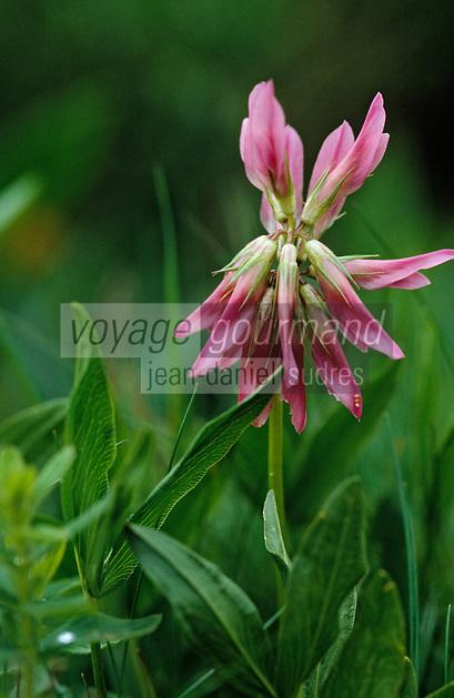 Europe/France/Auvergne/15/Cantal/Parc Régional des Volcans/Massif du Puy Mary (1787 mètres): Détail d'une fleur de réglisse
