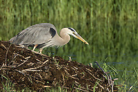 Great Blue Heron with prey