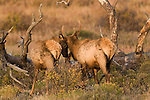 American elk, wapiti, Cervus elaphus, pair, spike, bulls, antlers, October, fall, autumn, morning, wildlife, mammal, nature, Beaver Meadows, Rocky Mountain National Park, Colorado, USA