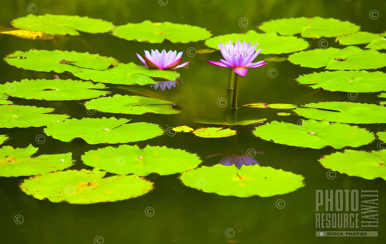 Purple water lilies surrounded by lily pads in a large pond, Hilo, Big Island.
