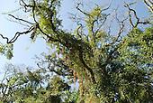 Fazenda Bauplatz, Parana State, Brazil. Mata Atlantica vegetation; trees, flowers and climbers.