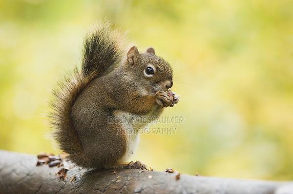 Red Squirrel, Pine Squirrel, Tamiasciurus hudsonicus, adult eating pine cone, Jenny Lake, Grand Teton NP,Wyoming, September 2005