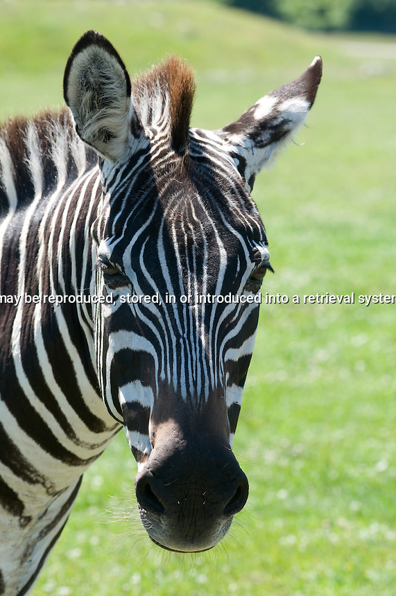 Head of Zebra looking at the camera