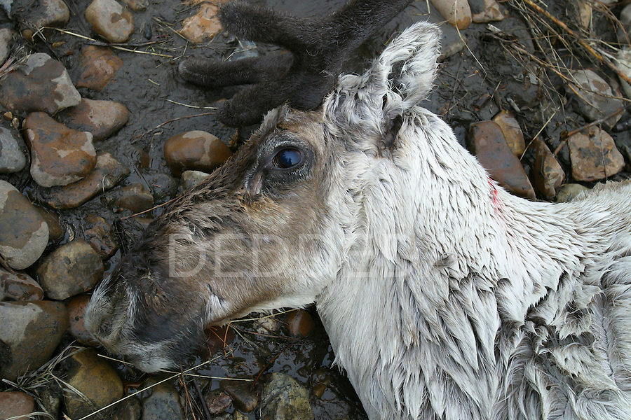 A dead Porcupine caribou lies on the banks of the Porcupine River near Old Crow, Yukon Territory, Canada.