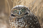 Photo Magnet Edit:  Burrowing Owl