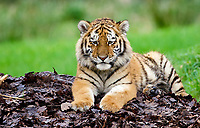 BNPS.co.uk (01202 558833)<br /> Pic: CalebHall/Longleat/BNPS<br /> <br /> Lazy days... a tiger taking it easy. <br /> <br /> Longleat Safari Park has been showing the public what they've been missing during the lockdown by releasing a candid collection of pictures of their famous collection of big cats.<br /> <br /> The Wiltshire park is currently closed to the public due to COVID-19 but has been giving animal lovers an insight into the animals.<br /> <br /> They have snapped the iconic lions in a number of spots around their enclosure as well as a series of photographs of their tigers.