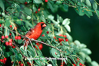 01530-16006 Northern Cardinal (Cardinalis cardinalis) male in Shadblow Serviceberry bush (Amelanchier canadensis) IL