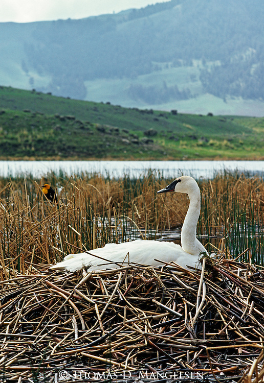 Trumpeter Swan sitting on a nest in Yellowstone National Park, Wyoming.