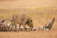 One of my favorites and in my opinion one of the most dramatic, of my series of images of two male lions killing an adult bull giraffe.