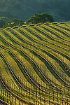 Rows of wine grape vines in Vineyard in the Santa Ynez Valley, Santa Barbara County, California