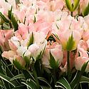 Tulip 'China Town' (Viridiflora Group), mid May.