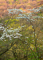 Devil's Den State Park, AR: Flowering dogwood (Cornus florida) in spring forest with sunset light on distant forested hills