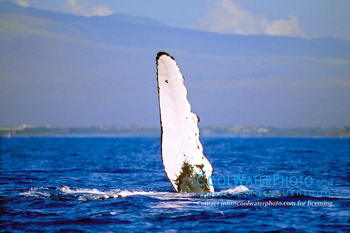 humpback whale pec-slapping, .Megaptera novaeangliae, .Hawaii (Pacific).