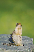 Columbian Ground Squirrel,Spermophilus columbianus, Glacier National Park, Montana, USA, July 2007